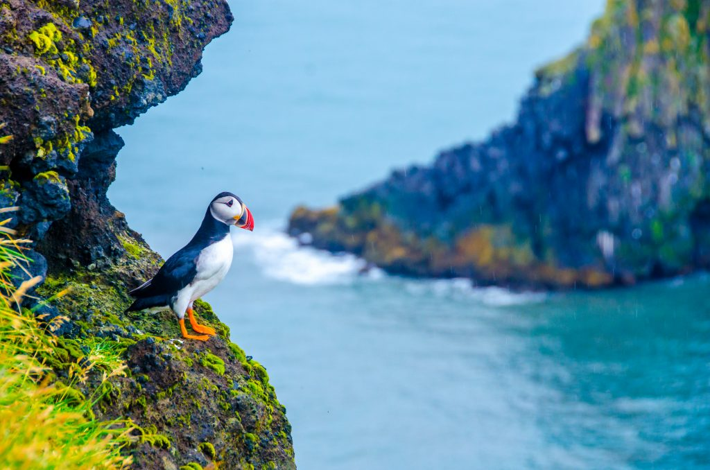 puffin in the Westfjords best things to do in Iceland