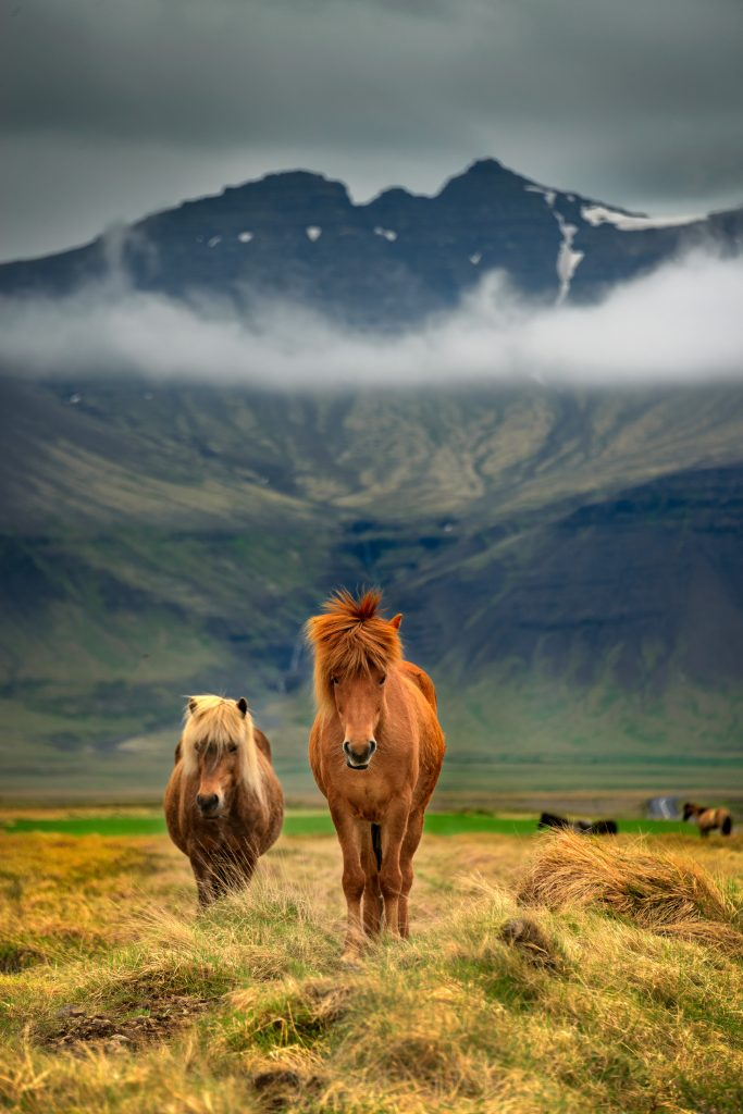 Photo of Icelandic horses with a mountain in the background.