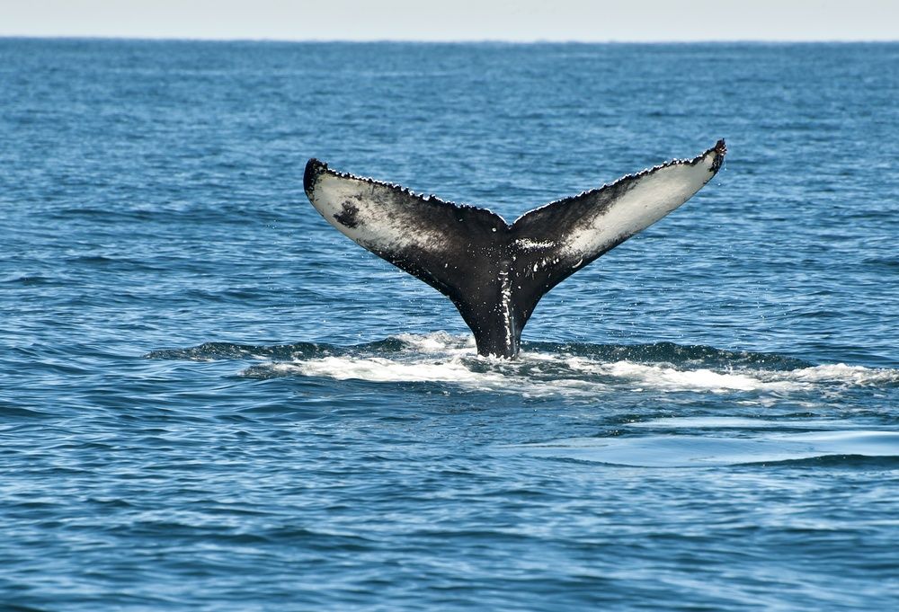 A whale tail submerging into the water