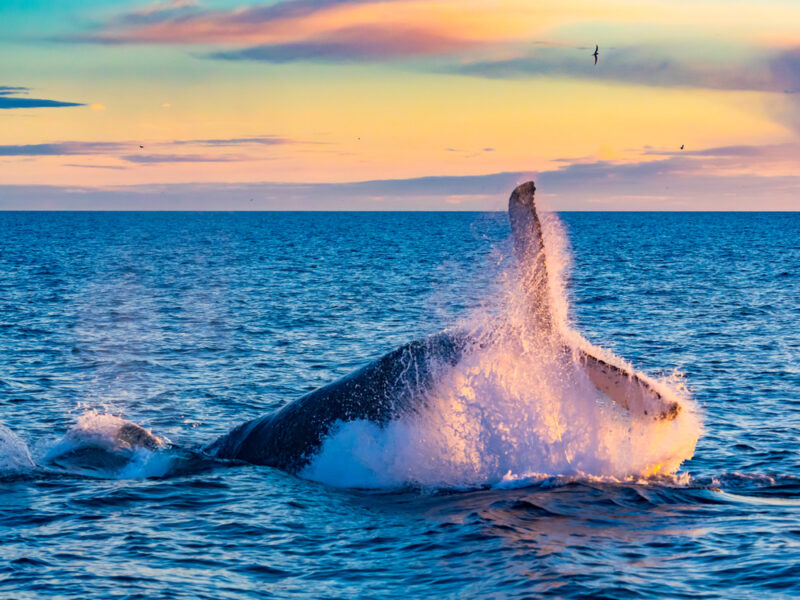 A whale breeches the water in the ocean off of Iceland.