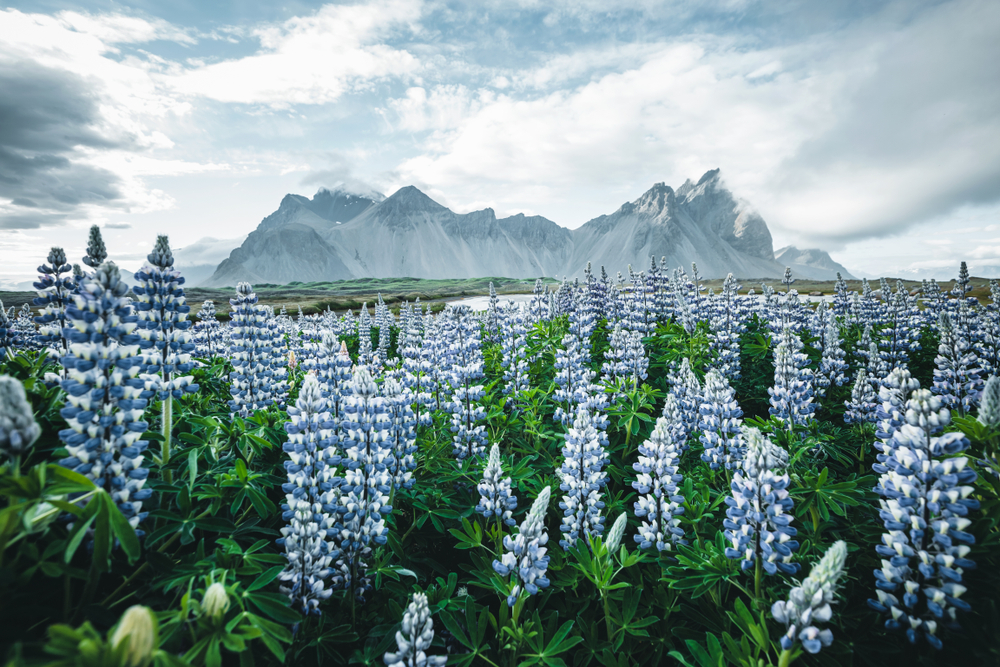 Photo of flowers in Iceland.