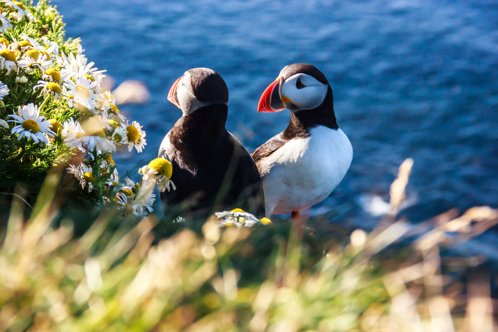 Photo of puffins--if you love puffins then the best time to visit Iceland is Spring!