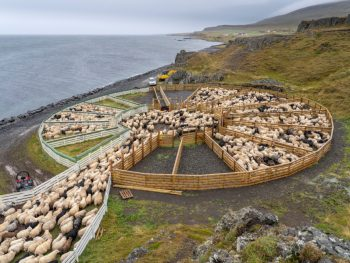 sheep herding during september in Iceland