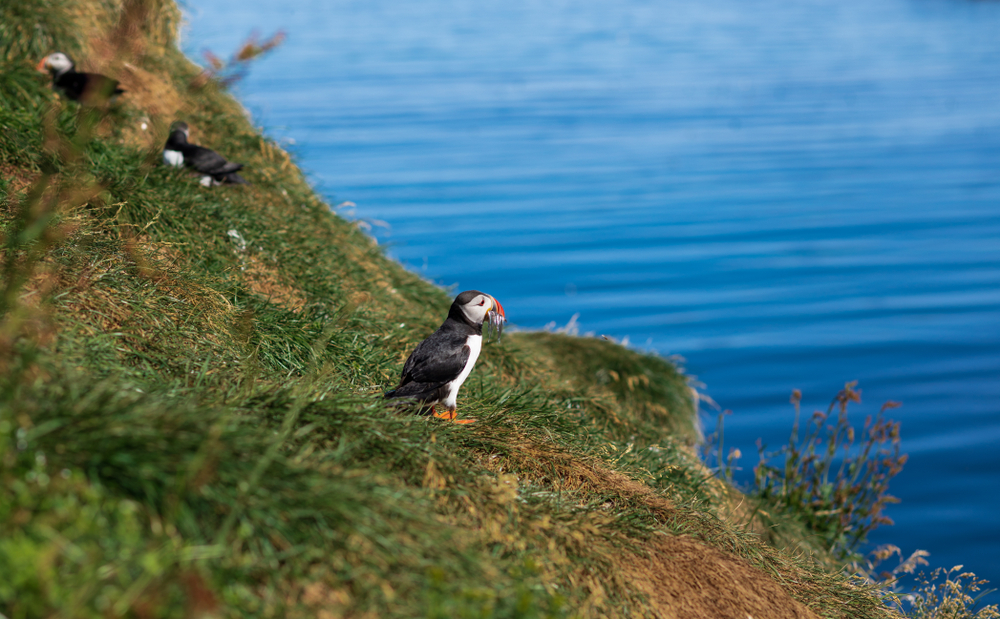 Come to East Iceland to see puffins at Borgarfjardarhofn.