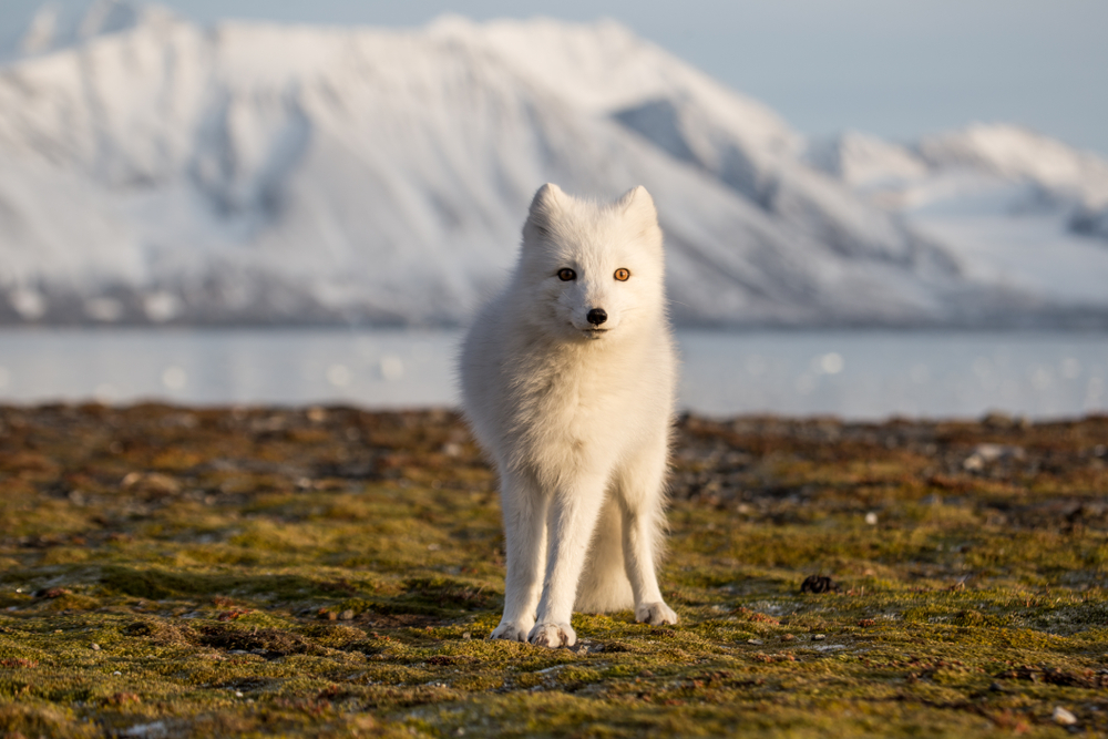 arctic fox in iceland at sunset with snowy mountain in background