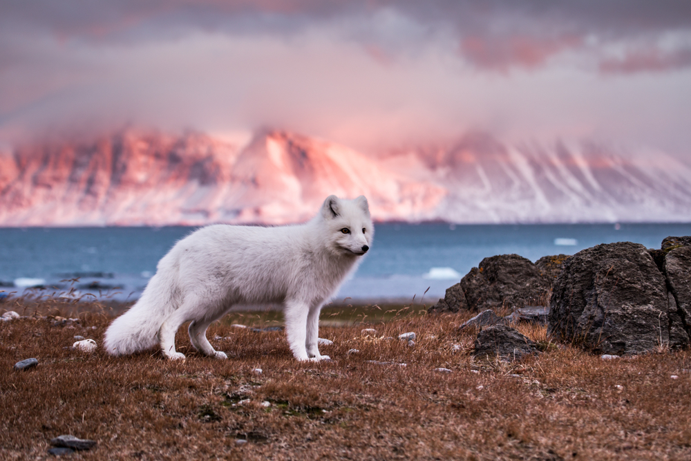 Arctic fox, one of the most popular animals in iceland standing on edge of ocean on a sunny day