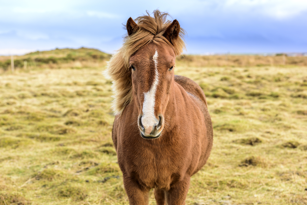 brown icelandic horse in an open feild standing and looking at camera