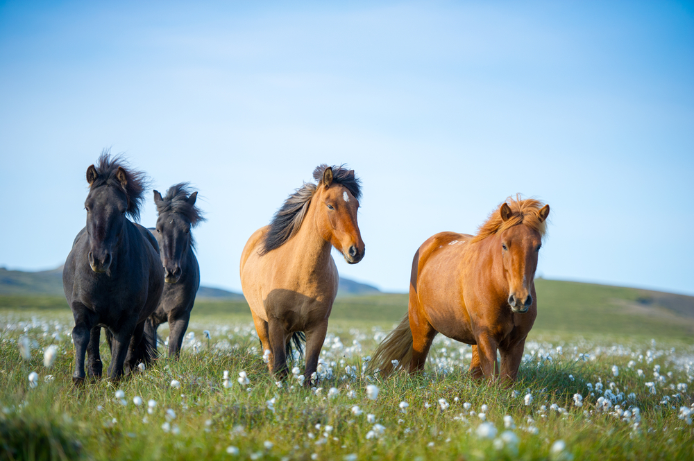 four  horses standing in field with flowers on a sunny day one of the most popular animals in iceland