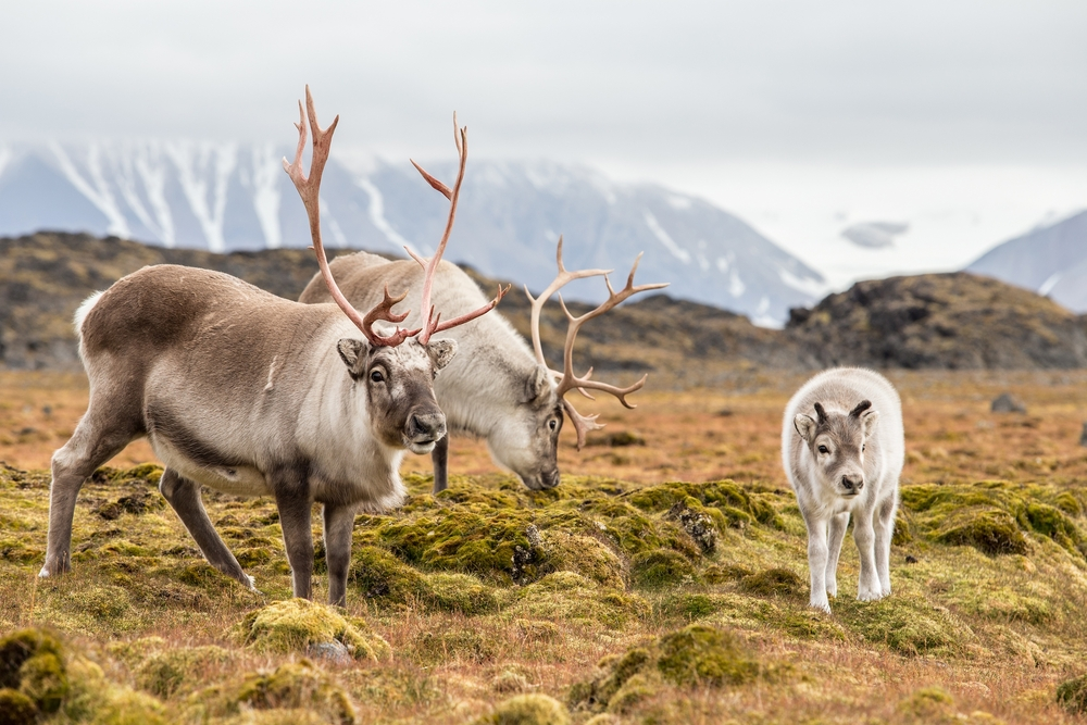 two adult reindeer and a young reindeer grazing in a field on a moody day