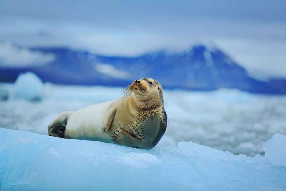 a seal laying on ice in iceland on a cloudy day