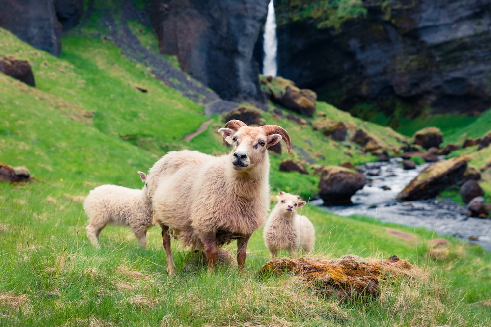 an icelandic sheep with its two babies in a field with waterfall in the background