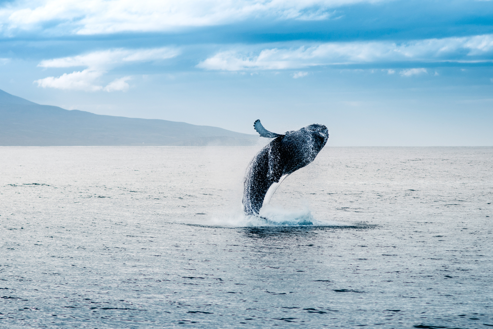 whale jumping out of the ocean on a sunny day