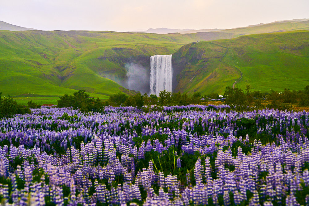 a field of purple lupine flowers with skogafoss in the distance
