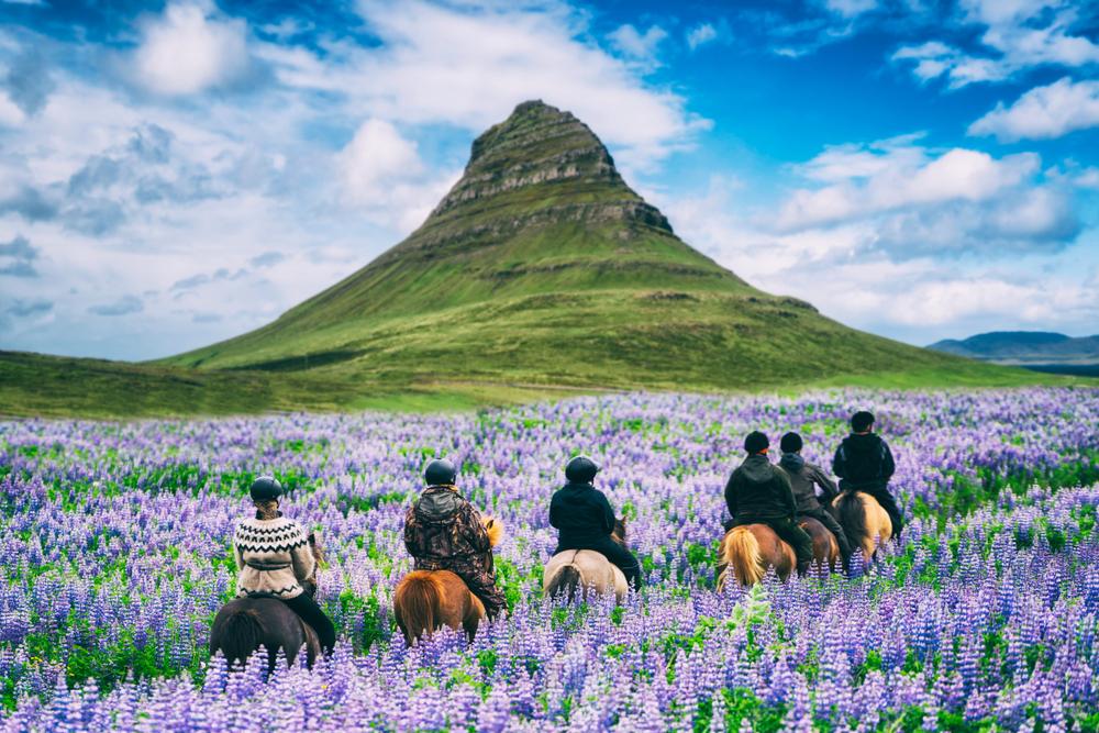 tourists horseback riding through arctic lupins near Kirkjufell