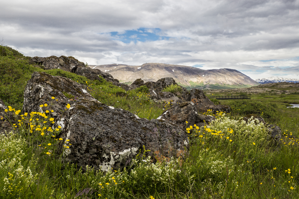 A spring landscape one of the best things to do in Thingvellir National Park. There are large boulders in a field full of tall grass and yellow and white wildflowers.